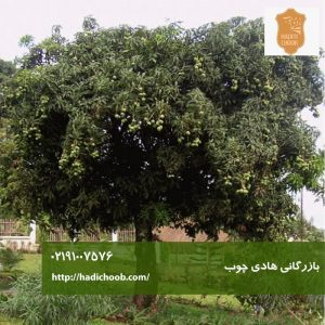 درخت انبه