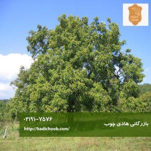 درخت گردو