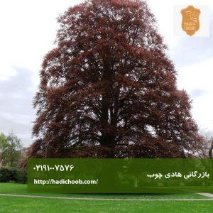 درخت راش