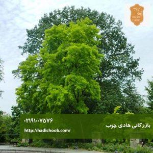 درخت آقاقیا